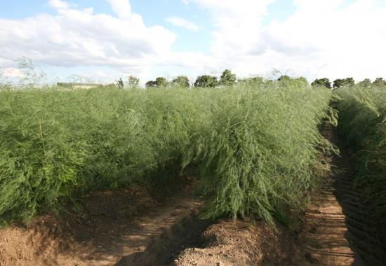 Bärli Spargel Pflanzen Freilandfläche